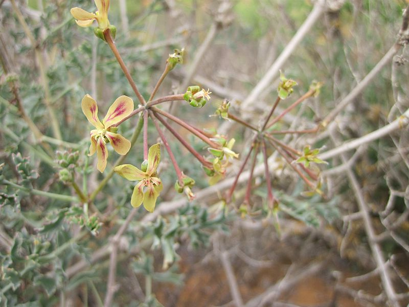 Pelargonium gibbosum 2, Vredendal. Credit Riaan Van Der Walt.