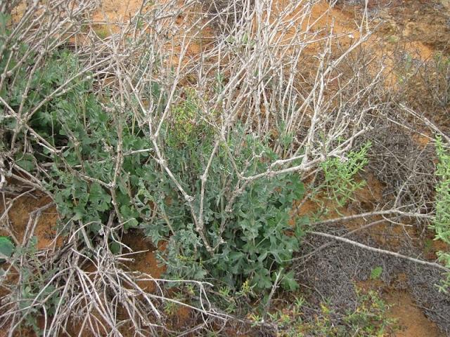 Pelargonium gibbosum 3, Vredendal. Credit Riaan Van Der Walt.