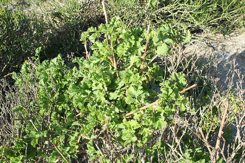 Pelargonium gibbosum, Jacobsbaai. Credit: Matija Strlic.