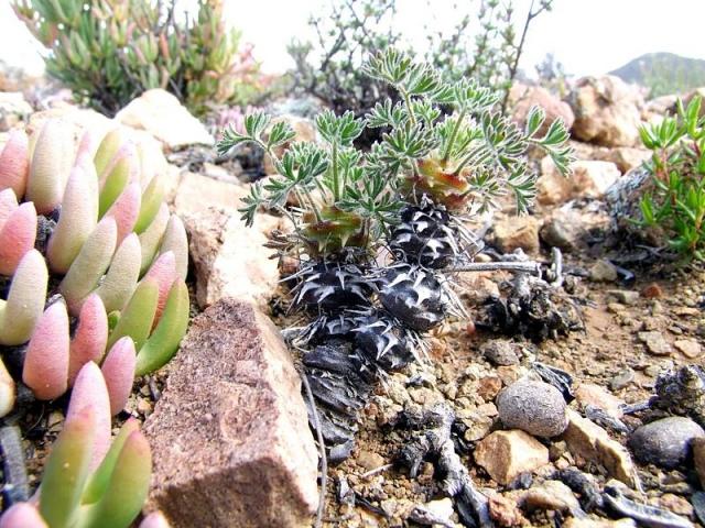 Pelargonium hystrix, N Matjiesfontein. Credit Jean-Andre Audissou.