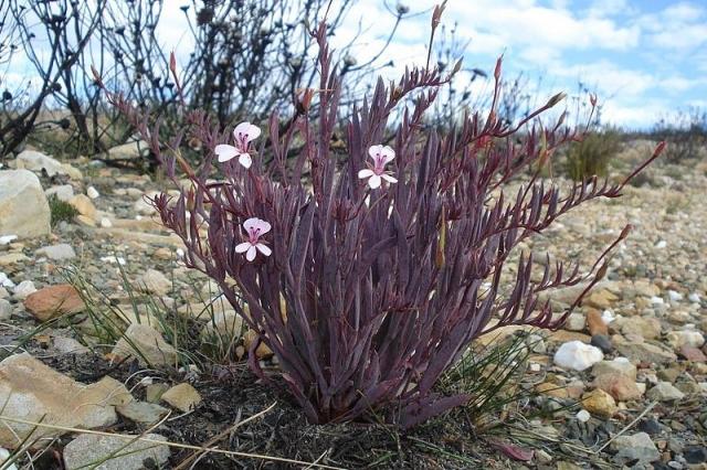Pelargonium lanceolatum 1, Montagu. Credit Judd Kirkel Welwitsch.