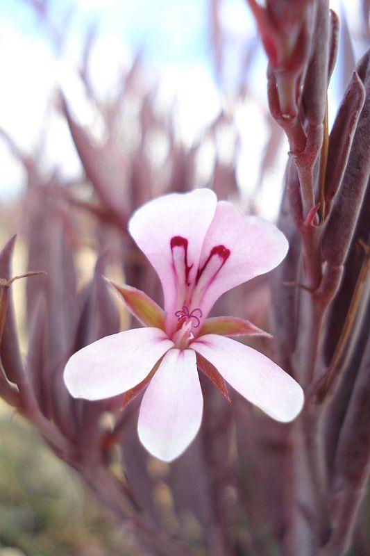 Pelargonium lanceolatum 2, Montagu. Credit Judd Kirkel Welwitsch.