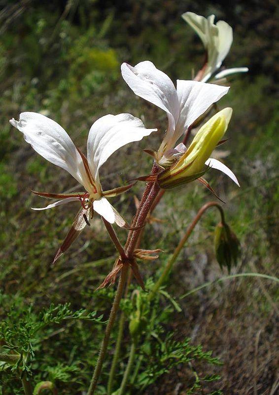 Pelargonium longicaule var longicaule 1, Tulbagh. Credit Judd Kirkel Welwitsch.