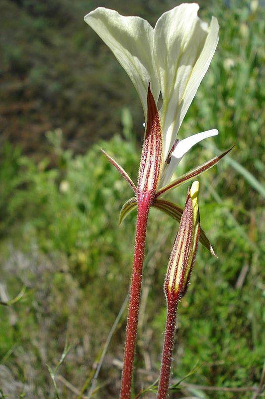 Pelargonium longicaule var longicaule 2, Tulbagh. Credit Judd Kirkel Welwitsch.
