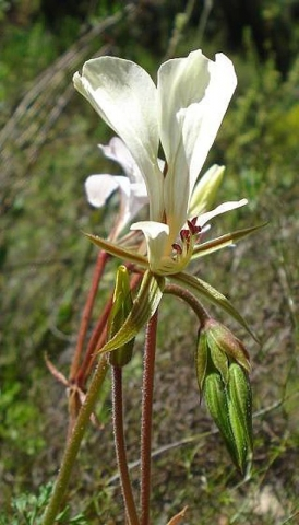 Pelargonium longicaule var longicaule 6, Tulbagh. Credit Judd Kirkel Welwitsch.