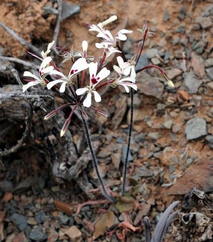 Pelargonium moniliforme, Knersvlakte. Credit Jean-Andre Audissou.
