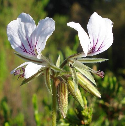 Pelargonium myrrhifolium var myrrhifolium 1, Tulbagh. Credit Judd Kirkel Welwitsch.