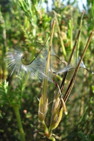 Pelargonium myrrhifolium var myrrhifolium 2, Tulbagh. Credit Judd Kirkel Welwitsch.
