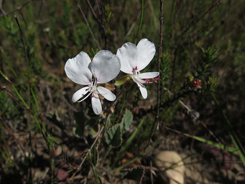 Pelargonium ovale ssp ovale 1, Swellendam. Credit Jan Movitz.