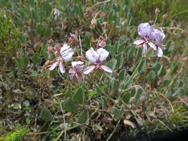 Pelargonium ovale ssp ovale 2, Swellendam. Credit Jan Movitz.