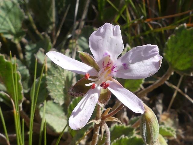 Pelargonium ovale ssp ovale 3, Swartberg Pass. Credit Jan Movitz.