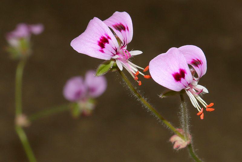 Pelargonium ovale ssp veronicifolium. Credit Elena Ioganson