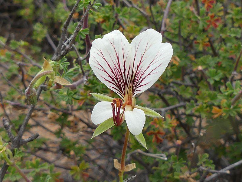 Pelargonium praemorsum ssp. praemorsum 1, Springbok. Credit Jan Movitz.