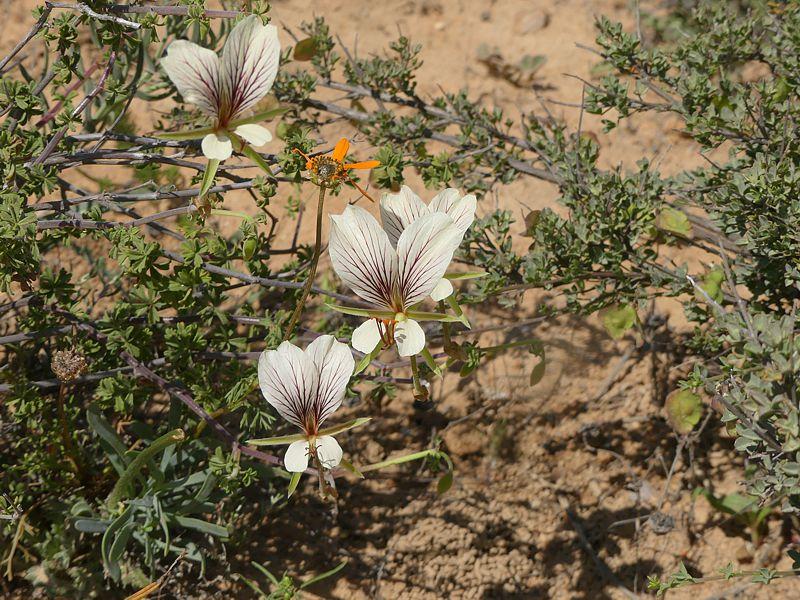 Pelargonium praemorsum ssp. praemorsum 2, Springbok. Credit Jan Movitz.