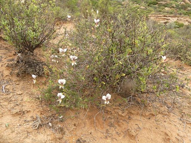 Pelargonium praemorsum ssp. praemorsum 3, Springbok. Credit Jan Movitz.