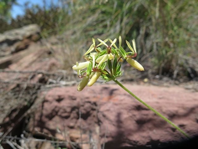 Pelargonium rapaceum 2, Piketberg. Credit Jan Movitz.