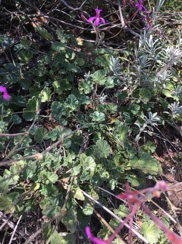 Pelargonium reniforme 1, Uniondale Poort. Credit Erica Haederli.