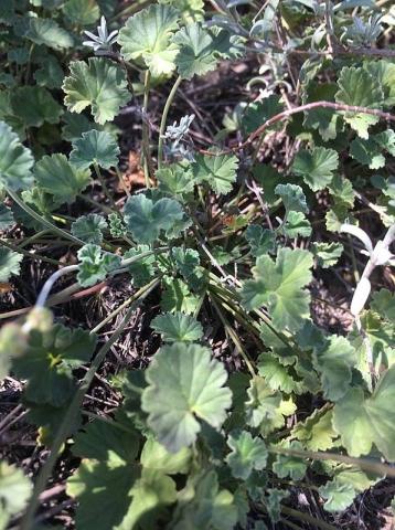Pelargonium reniforme 2, Uniondale Poort. Credit Erica Haederli.