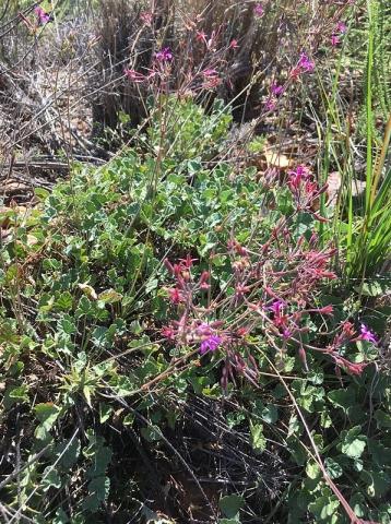 Pelargonium reniforme 3, Uniondale Poort. Credit Erica Haederli.