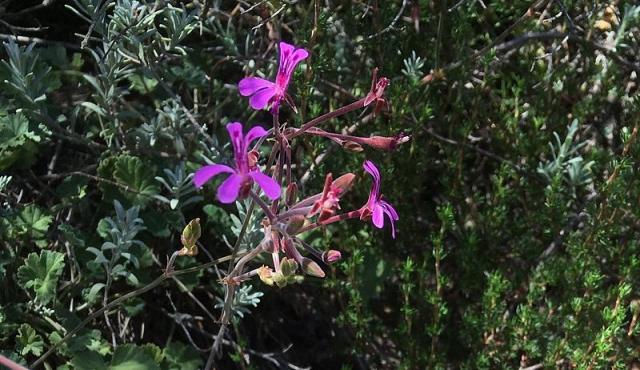 Pelargonium reniforme 4, Uniondale Poort. Credit Erica Haederli.