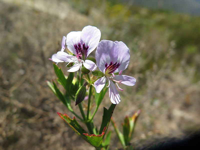 Pelargonium scabrum, Piketberg. Credit Jan Movitz.