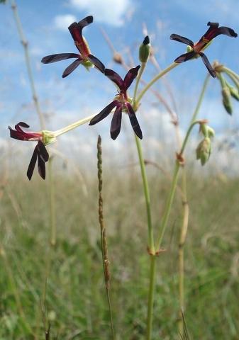 Pelargonium sidoides 1. Credit Judd Kirkel Welwitsch.
