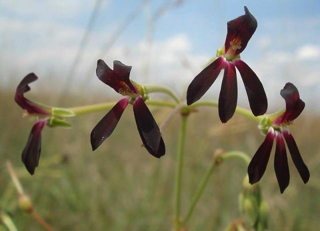Pelargonium sidoides 2. Credit Judd Kirkel Welwitsch.