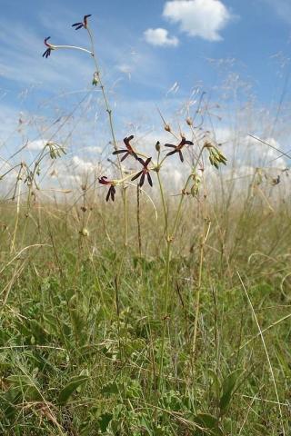 Pelargonium sidoides 3. Credit Judd Kirkel Welwitsch.