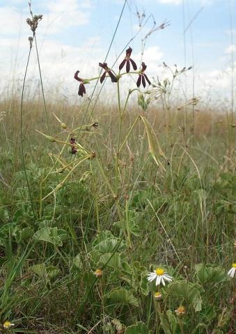 Pelargonium sidoides 4. Credit Judd Kirkel Welwitsch.