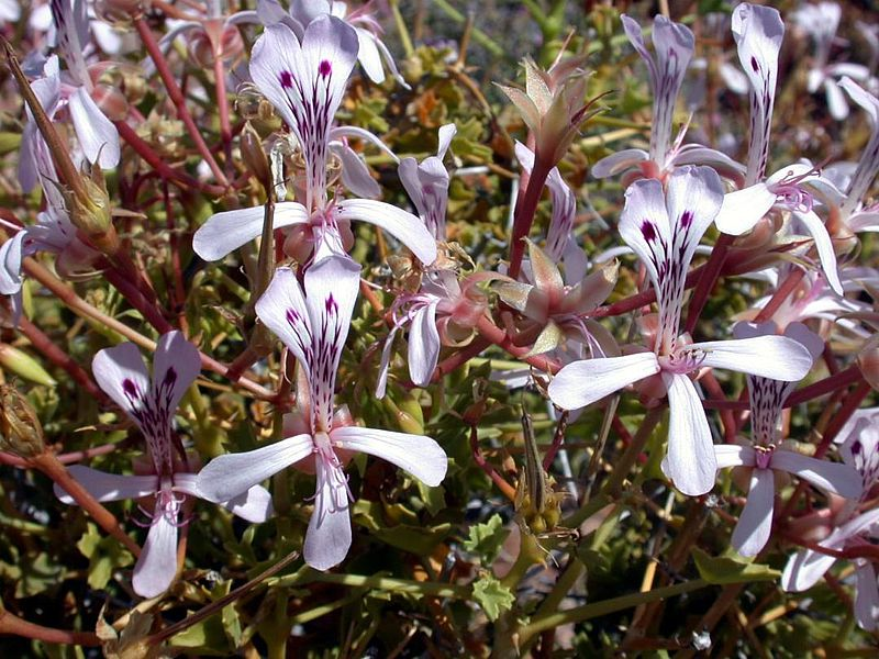Pelargonium spinosum 1, Witputs. Credit Jean-Andre Audissou.