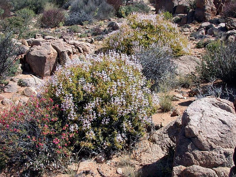Pelargonium spinosum 2, Witputs. Credit Jean-Andre Audissou.