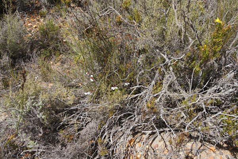 Pelargonium tricolor 2, Garcia Pass, Credit Elena Ioganson.