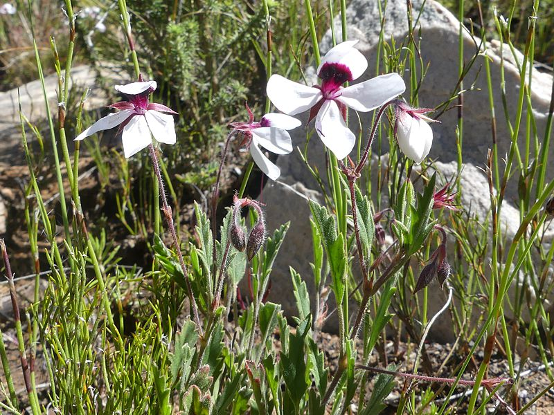 Pelargonium tricolor 2, Swartberg Pass. Credit Jan Movitz.