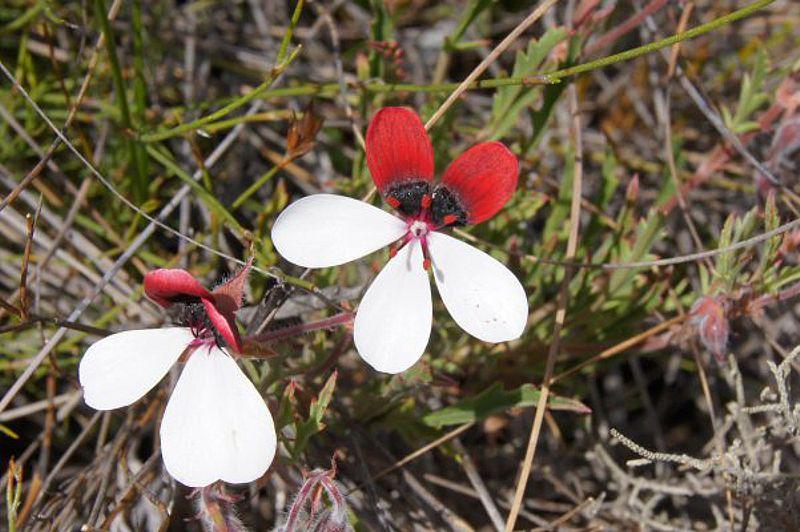 Pelargonium tricolor 4, Garcia Pass, Credit Elena Ioganson.