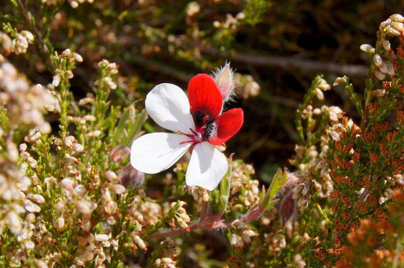 Pelargonium tricolor 6, Garcia Pass, Credit Elena Ioganson.