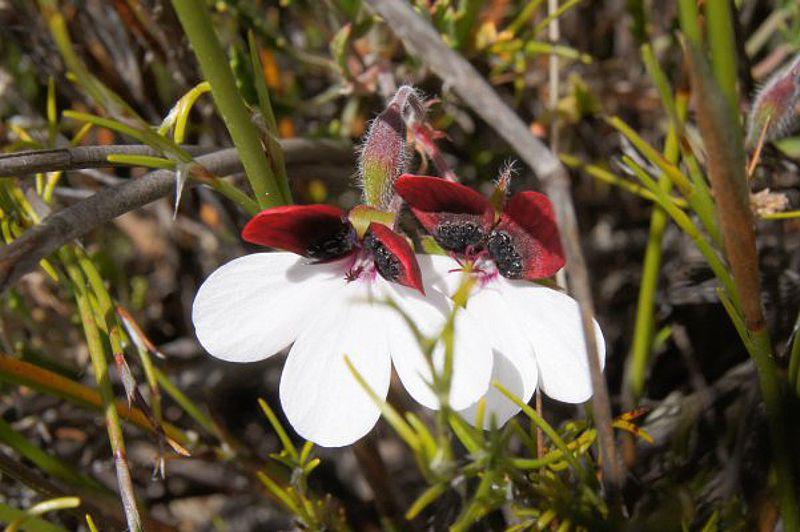 Pelargonium tricolor 7, Garcia Pass, Credit Elena Ioganson.