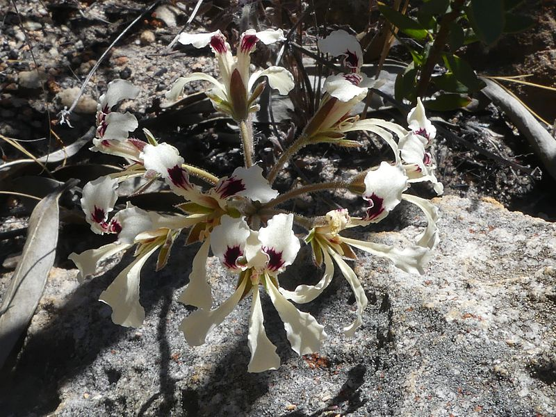 Pelargonium trifoliolatum 1, Op die Berg. Credit Jan Movitz.