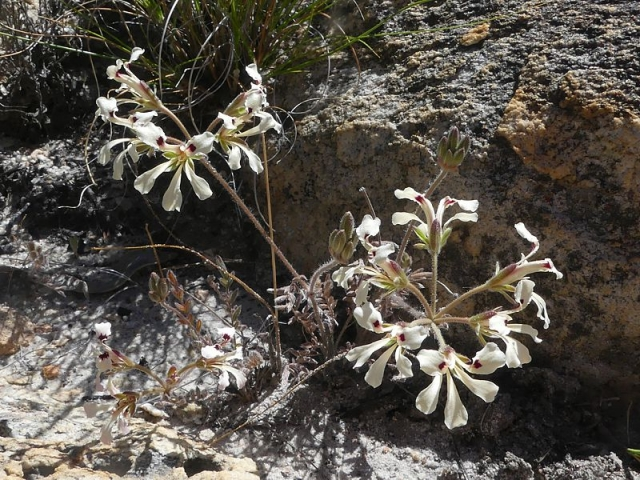 Pelargonium trifoliolatum 2, Op die Berg. Credit Jan Movitz.