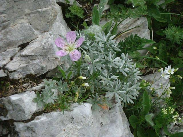 Geranium argenteum 1, Mt. Crna Prst, Slovenia. Credit: Matija Strlic.