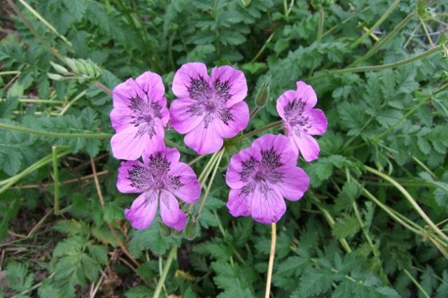 Erodium castellanum 1. Credit: Helen Poirier.
