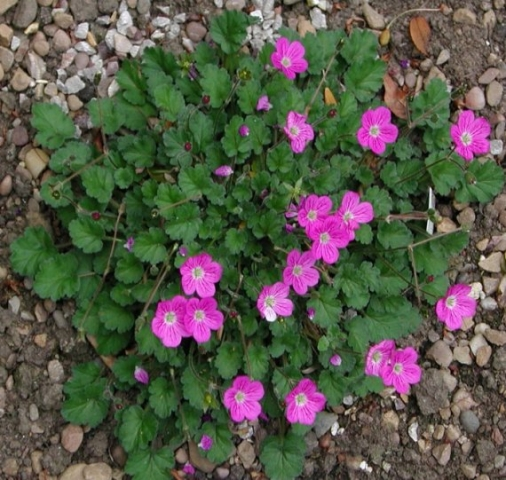 E. corsicum x E. reichardii 1. Credit: David Green.