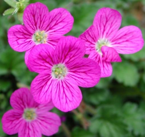 E. corsicum x E. reichardii 2. Credit: David Green.