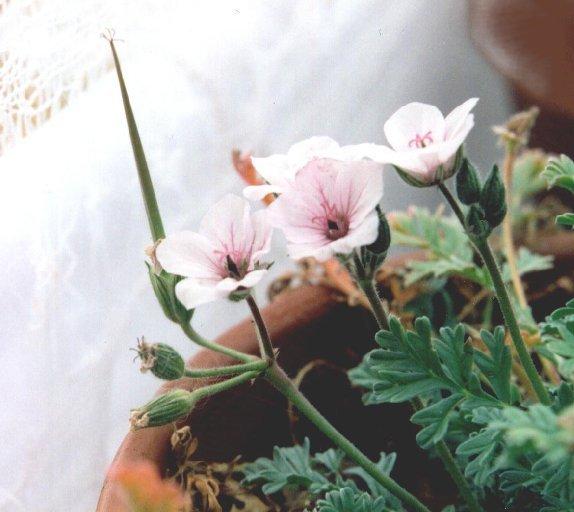 E. absinthioides var. armenum x E. chrysanthum 2. Credit: Richard Riedy.