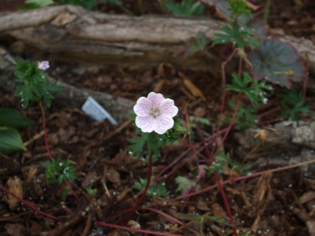 Geranium clarum 2. Credit: Richard Brown.