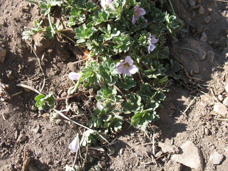 Geranium sessiliflorum ssp. sessiliflorum 1, Termas del Plomo, Chile, 2013. Credit: Dominique Evrard.