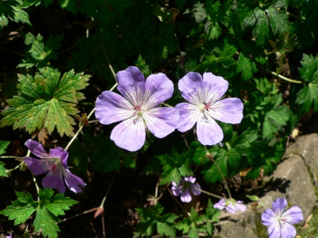 Geranium wallichianum 1, Ex Seed List 2015. Credit: Chris Stevenson.