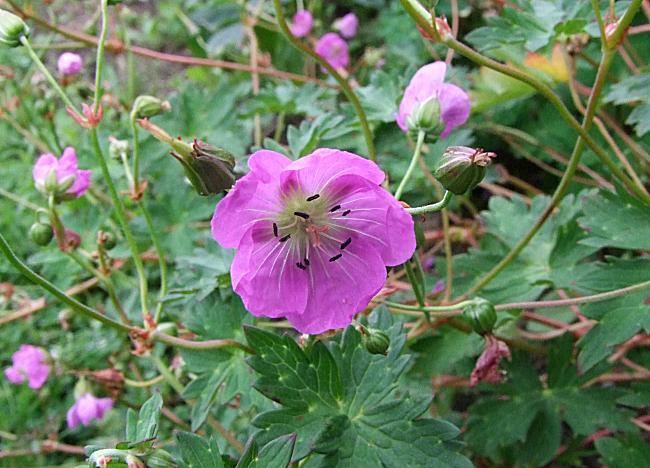 Geranium yunnanense 1. Credit: Helen Poirier.