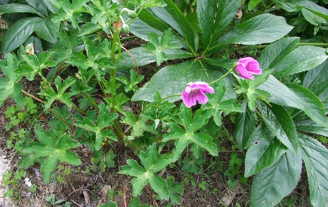 Geranium yunnanense 2. Credit: Helen Poirier.