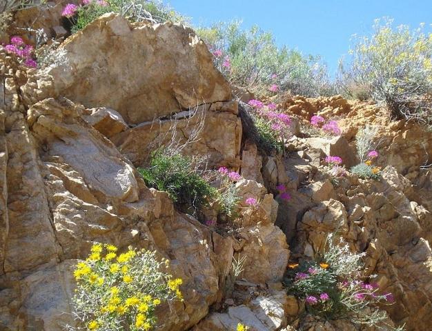 Pelargonium incrassatum 2. Credit: Judd Kirkel Welwitsch.