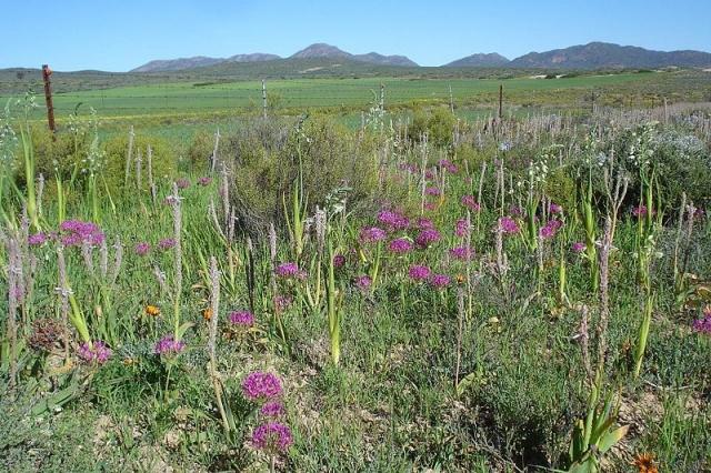 Pelargonium incrassatum 3. Credit: Judd Kirkel Welwitsch.